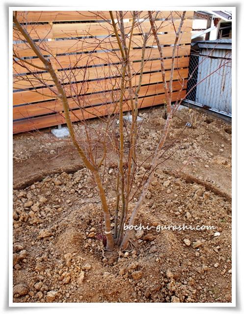 イロハモミジを植える