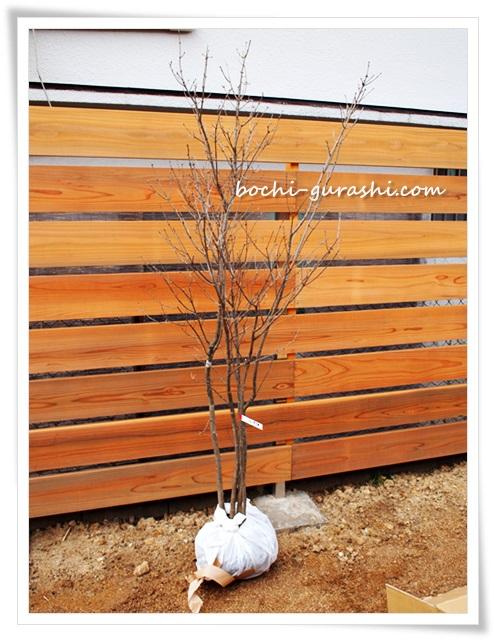 アオダモの木