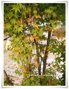 モミジの葉っぱが枯れる