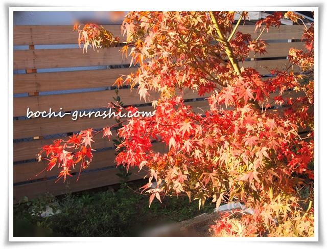 紅葉しかけのイロハモミジ