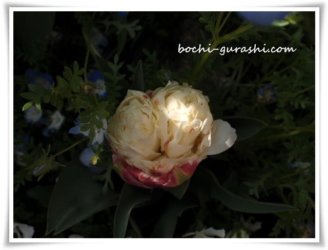 チューリップアイスクリーム開花