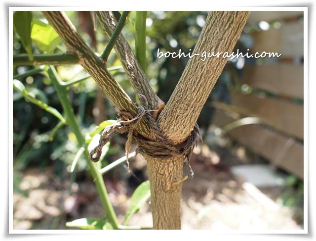 折れた枝を紐でなおす