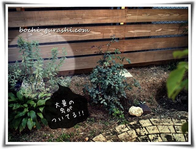 庭の植物がアブラムシにやられる