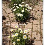 おすすめ!こぼれ種で増える花で庭が賑やかに