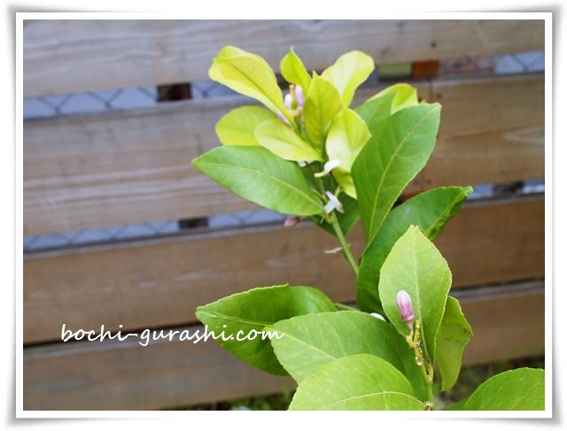 レモンの木の蕾