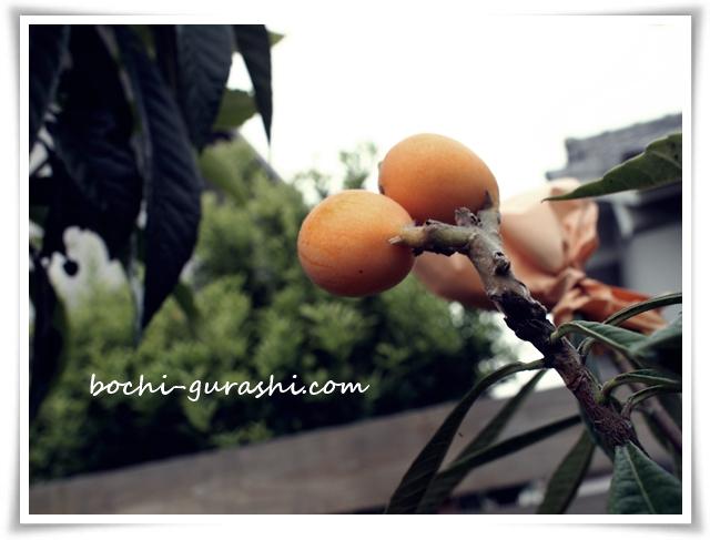 琵琶の収穫
