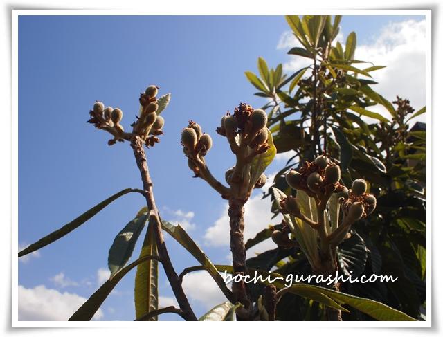 枇杷の木が実をつける2018