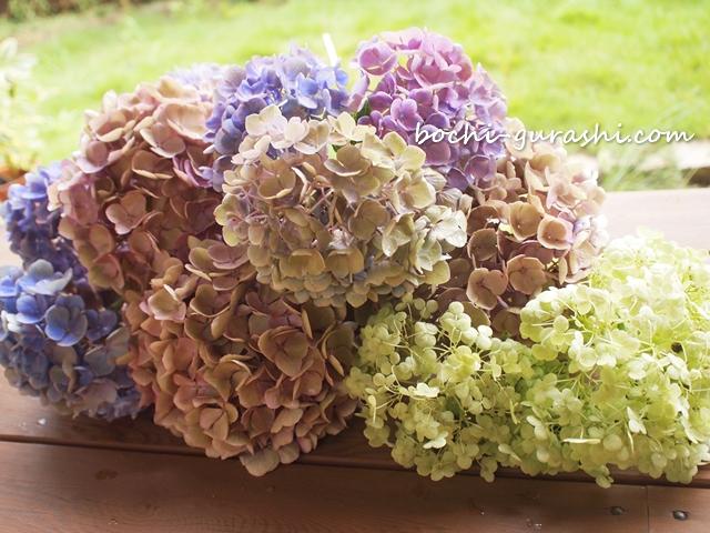 紫陽花を剪定