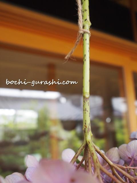 紫陽花に紐をつける