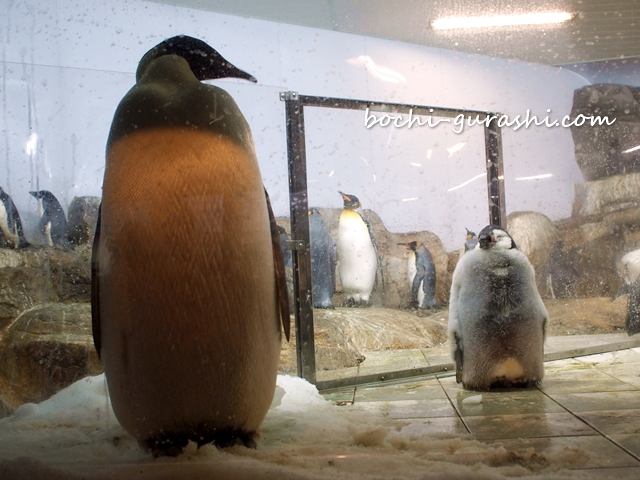 皇帝ペンギン親子
