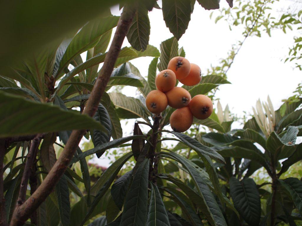 19年ビワの実収穫2